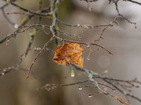 Single leaf on tree in autumn with raindrops