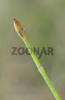 Sporenähre des  Sumpf-Schachtelhalms (Equisetum palustre)