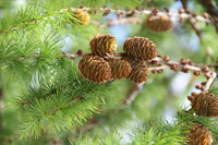 Pine cones on branches. Brown pine cone of pine tree. Growing cones close up. Larch cones growing