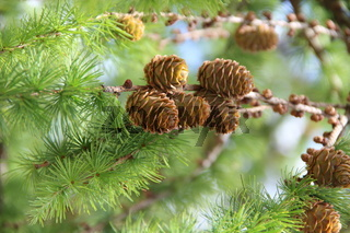 Larch cones growing in row on branch with needles. fruits of coniferous tree