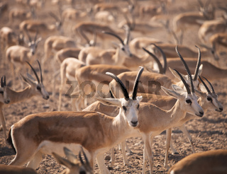 Gazelles. Arabian Wildlife in natural habitat