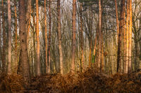 Sunlit stems and brown fern leaves in the pine forest