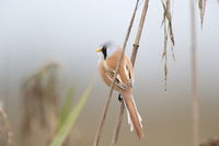 Bearded Reedling or Bearded Tit (Panurus biarmicus)  Germany