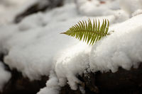 Lady fern growing from the snow cover in wintertime.