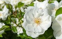 Rose, Rosa