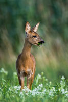 Roe deer doe standing on blossoming meadow and chewing green leaf in mouth.