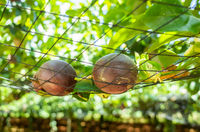 farm of passion fruit cultivation on plastic net