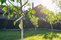 Freshly planted young pear and apple trees in spring or summer orchard or garden with beautiful sunlight. Tree has a label with word pear.