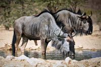 drinking blue wildebeest, Kgalagadi Transfrontier National Park, South Africa, (Connochaetes taurinu