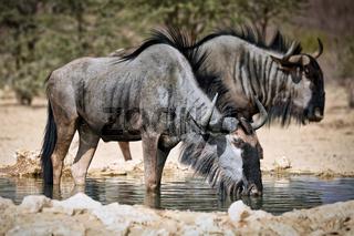 Trinkende Streifengnus, Kgalagadi-Transfrontier-Nationalpark, Südafrika, (Connochaetes taurinus) | drinking blue wildebeest, Kgalagadi Transfrontier National Park, South Africa, (Connochaetes taurinus)