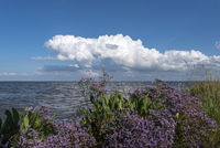 Sea lavender at the mouth of the Weser by Fedderwardersiel