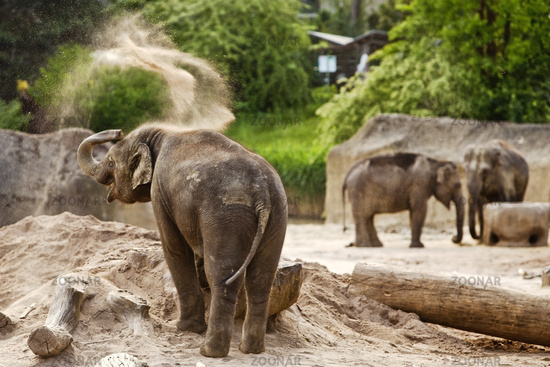 Asian elephant (Elephantidae), zoo, Cologne, Rhineland, North Rhine-Westphalia, Germany, Europe