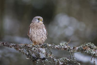 common kestrel - male