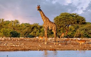 Giraffe, Etosha-Nationalpark, Namibia, (Giraffa camelopardalis) | giraffe, Namibia