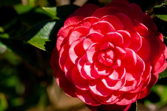 Pink camellia under spring sunlight