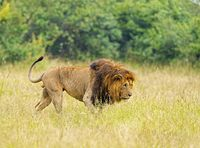 Lion stalking closeup, Maasai Mara National Reserve, Kenya, Africa