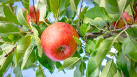 juicy red apple between green leaves