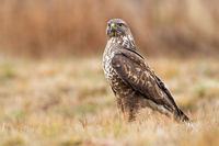 Fierce common buzzard sitting the ground in autumn nature