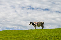 portrait of single cow in meadow