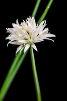 White chive blossom with two green stems