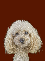 Apricot Medium Poodle Cutout