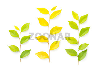 Elm Tree Twigs Isolated On White Background