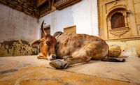 Cow on street in India. Constitution of India mandates the protection of cows. Rajasthan, India.
