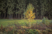 Young birch in autumn