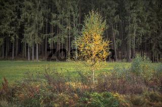 Junge Birke im Herbst