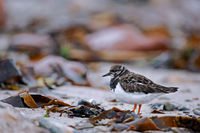 Ruddy Turnstone in non-breeding plumage