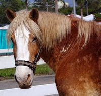 Closeup view of a tired old horse