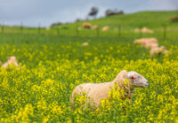 Sheep grazing in canola in spring