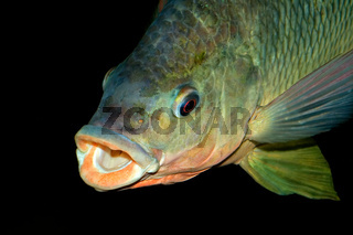 Nembwe fish portrait