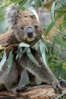 An Australian Koala in its natural habitat