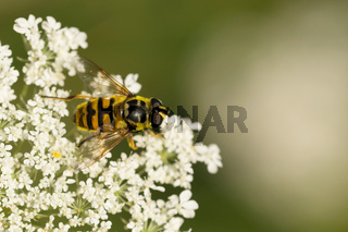 Totenkopfschwebfliege (Myathropa florea)