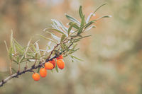 Sea buckthorn growing on tree in autumn nature.