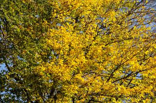 Blätter der Buche im Herbst