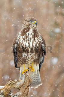 Concentrated common buzzard having a vigilance from the branch while snowing