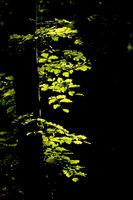 Morning sun illuminates beech leaves