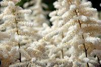 white shrub