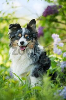 Miniatur australian shepherd dog under a lilac