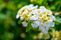 Closeup white Lantana Camara flower