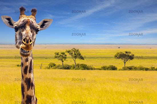 The cheerful giraffe in savanna