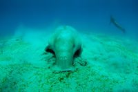 Close view on cute and amazing dugong.Underwater shot. A diver in flippers and mask looking on quite rare ocean animal who eating seagrass underwater.The huge sea cow.Dugon.Underwater fauna and flora.