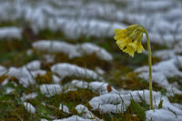 Schlüsselblume, Primula elatior, primerose, blühend im Schnee