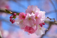 Close up pink cherry blossom over clear blue sky