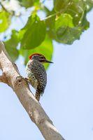 bird Nubian woodpecker Ethiopia Africa safari wildlife