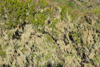 Lichen on the bushes, simien mountains