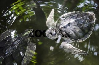 Olive ridley turtles performing waterballet, Galle, Sri Lanka