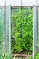 Cultivation of vegetables and tomatoes in a small hothouse. Outside of greenhouse.